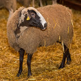 Black Sheep, White Fleece Royalty Free Stock Photos