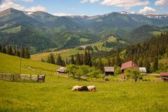 Black sheep among white on a green pasture in the mountains. Stock Photos