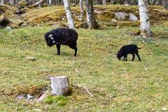 Black Sheep Stock Images