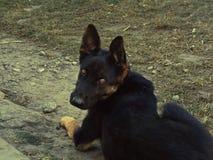 Black sheepdog Royalty Free Stock Photos