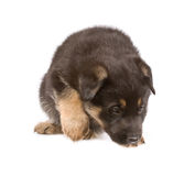 Black sheepdogs puppy Stock Image