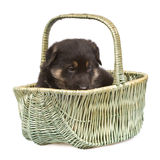 Black sheepdogs puppy isolated Royalty Free Stock Photo