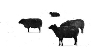Black sheeps Stock Images