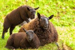 Black Sheeps Family Royalty Free Stock Photography