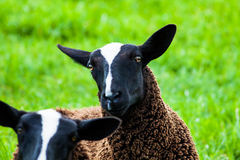 Black sheeps. The head of a black sheep in the field Royalty Free Stock Image
