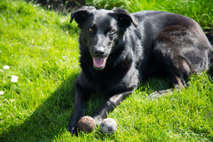 Black shepard mix playing with balls Royalty Free Stock Photography