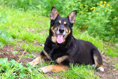 Black shepherd dog Stock Photos