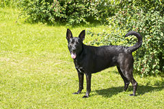 Black shepherd on green lawn Stock Images