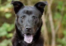 Black Shepherd Mixed Breed Royalty Free Stock Photo