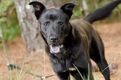 Black Shepherd Mixed Breed. Outdoor Adoption Portrait Animal Shelter Humane Society stock photography