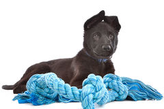 Black Shepherd puppy dog with a blue toy rope. In front of a white background royalty free stock photos