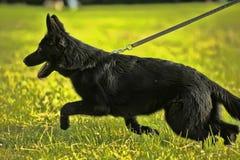 Black Shepherd puppy on leash Stock Photo
