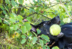 Black shepherd puppy playing with ball Royalty Free Stock Image