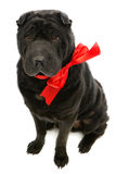 Black sher pei with red bow Royalty Free Stock Photo