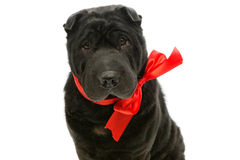 Black sher pei with red bow Royalty Free Stock Photos