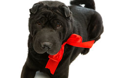 Black sher pei with red bow Stock Images