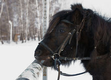 Black Shetland pony Royalty Free Stock Image