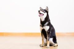 Black shiba inu dog Royalty Free Stock Photography