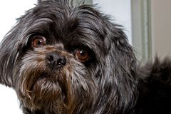 Black Shih Tzu stock photo