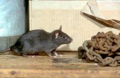 Black or Ship rat, Rattus rattus. Single mammal Stock Photo
