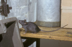 Black or Ship rat, Rattus rattus Royalty Free Stock Photo