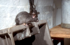 Black or Ship rat, Rattus rattus. Single mammal Stock Photos