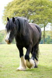 Black Shire in field. Black shire horse at rest Stock Photography