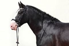 Black shire heavy draft horse portrait. In summer stud farm stock image