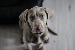 Black Short Coat Medium Dog on Floor Royalty Free Stock Photos