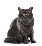 Black short hair cat. Portrait of black short hair cat Royalty Free Stock Photos