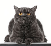 Black short hair cat. Portrait of black short hair cat Stock Photo
