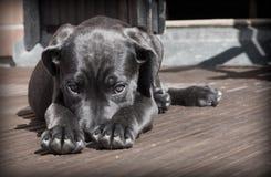 Black Short Haired Dog Royalty Free Stock Photos