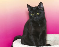 Black short haired kitten sitting up in bed against a pink and y. Ellow textured background, looking forward to the side Stock Images