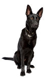 Black short haired shepherd. In front of a white background Stock Images