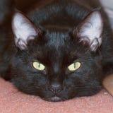 Black shorthair cat portait royalty free stock images