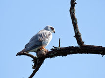 Black Shouldered Kite. Sitting in a tree with prey Royalty Free Stock Photos