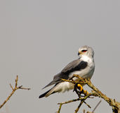 Black-shouldered Kite. A Black-shouldered Kite looking back perched on a tree at Tsavo West national park, Kenya Stock Image