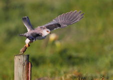 Black Shouldered Kite Royalty Free Stock Photography