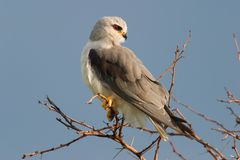 Black-shouldered kite. (Elanus caeruleus) perched on a branch, South Africa Royalty Free Stock Photos