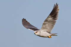 Black Shouldered Kite. Photographed near Cape Town Royalty Free Stock Photo