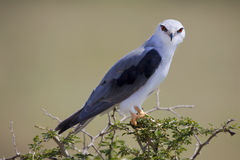 Black-shouldered Kite. Looking straight at the camera with nice view of colorful eyes Stock Image