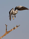 Black shouldered Kite. Take off Royalty Free Stock Photo