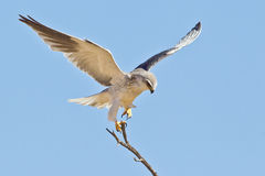 Black Shouldered Kite Stock Photos