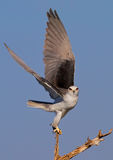 Black Shouldered Kite. In a lovely pose Royalty Free Stock Photography