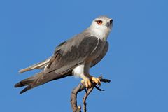 Black-shouldered kite. (Elanus caeruleus) perched on a branch, Kalahari, South Africa Royalty Free Stock Images