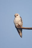 Black shouldered Kite. A Black shouldered Kite looking for prey, high resolution Stock Photo