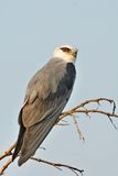 Black Shouldered Kite. The Black-shouldered Kite (Elanus axillaris) or Australian Black-shouldered Kite is a small raptor found in open habitat throughout Royalty Free Stock Photo