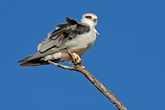 Black-shouldered kite. (Elanus caeruleus) perched on a branch, Kalahari, South Africa Stock Image