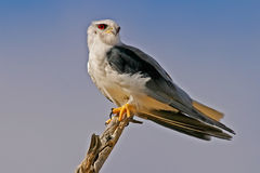 Black-shouldered kite. (Elanus caeruleus) perched on a branch, South Africa Stock Photos