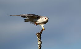Black Shouldered Kite. Balancing in tree in the wind, beautiful red eyes contrasting with sky and white/grey body Stock Image